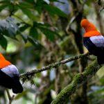 Gallito de las Rocas: Un ave que solo se encuentra en Madre de Dios