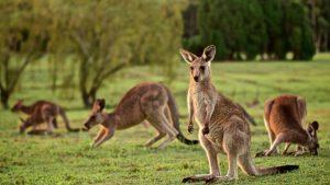 Peru vs Australia Canguros