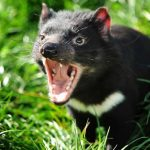 Peru vs australia demonio de tasmania