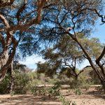 Bosque de Pómac Algarrobos