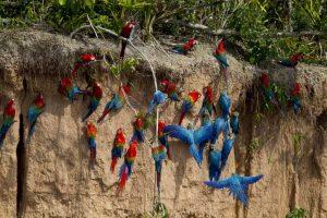 Collpa de Guacamayos Lugares turísticos de Puerto Maldonado