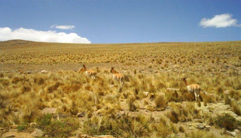 Vicuñas en la Reserva Nacional Pampas Galeras